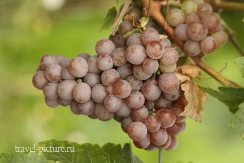 Геврцтраминер и винная дорогая Эльзаса