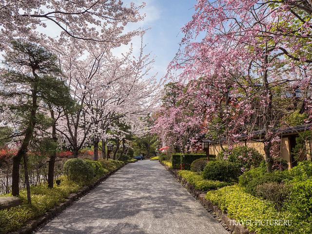 период цветения сакуры