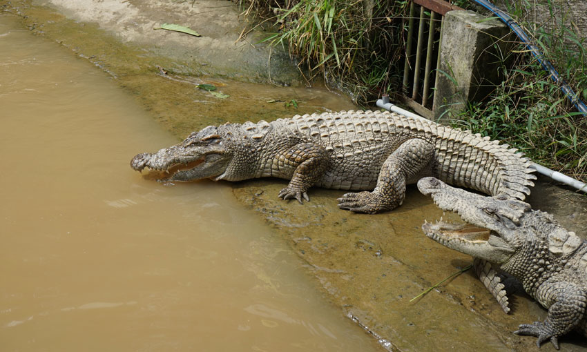 крокодилы в парке Пренн Далат вьетнам