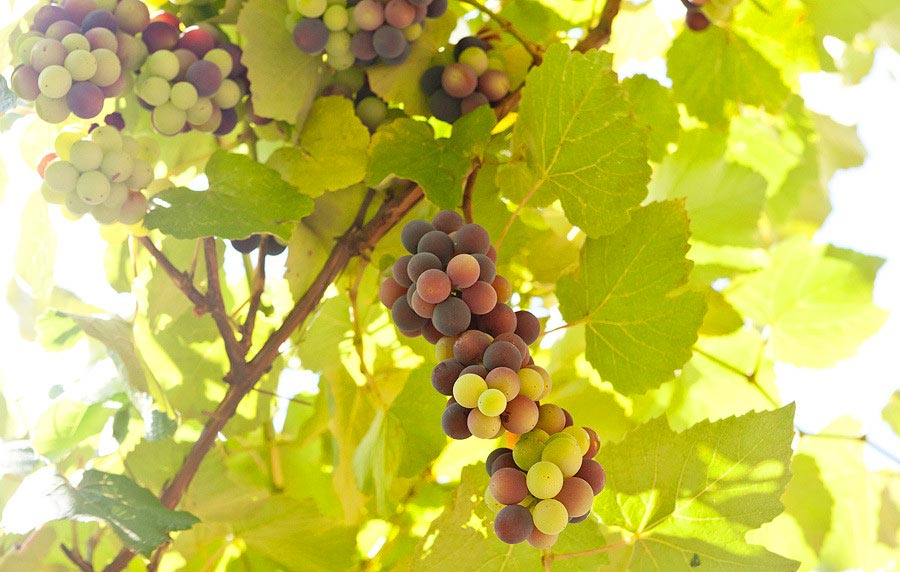 Виноград в Гаграх