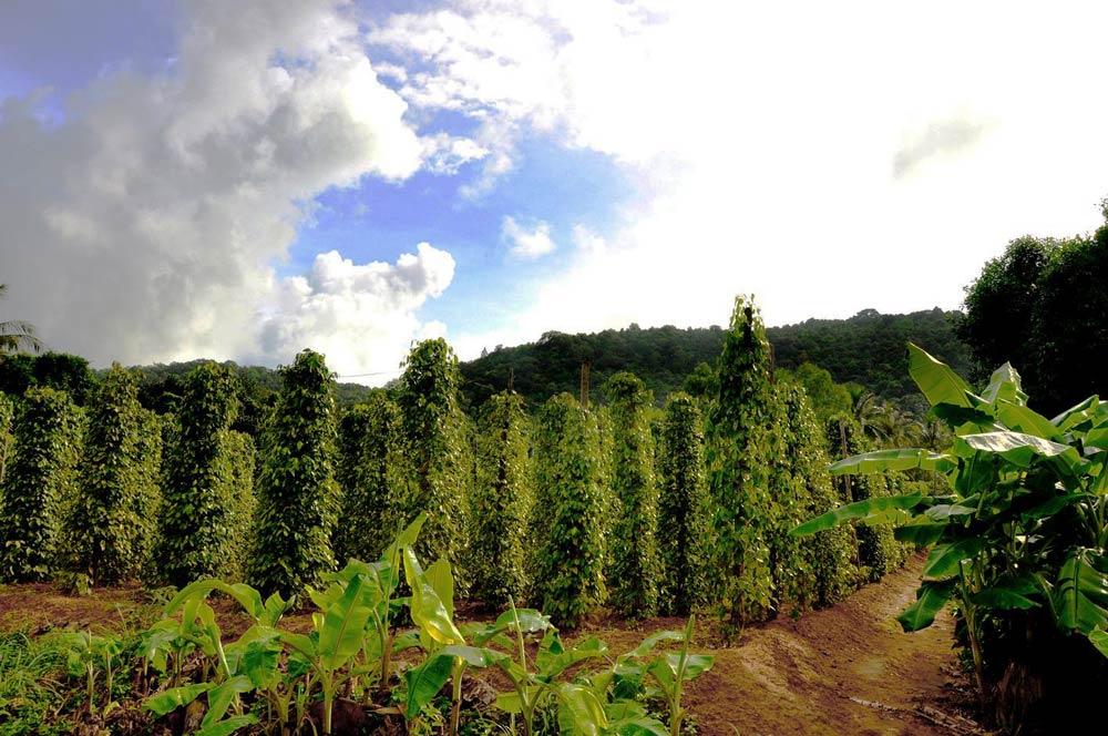 Как выращивают перец во Вьетнаме