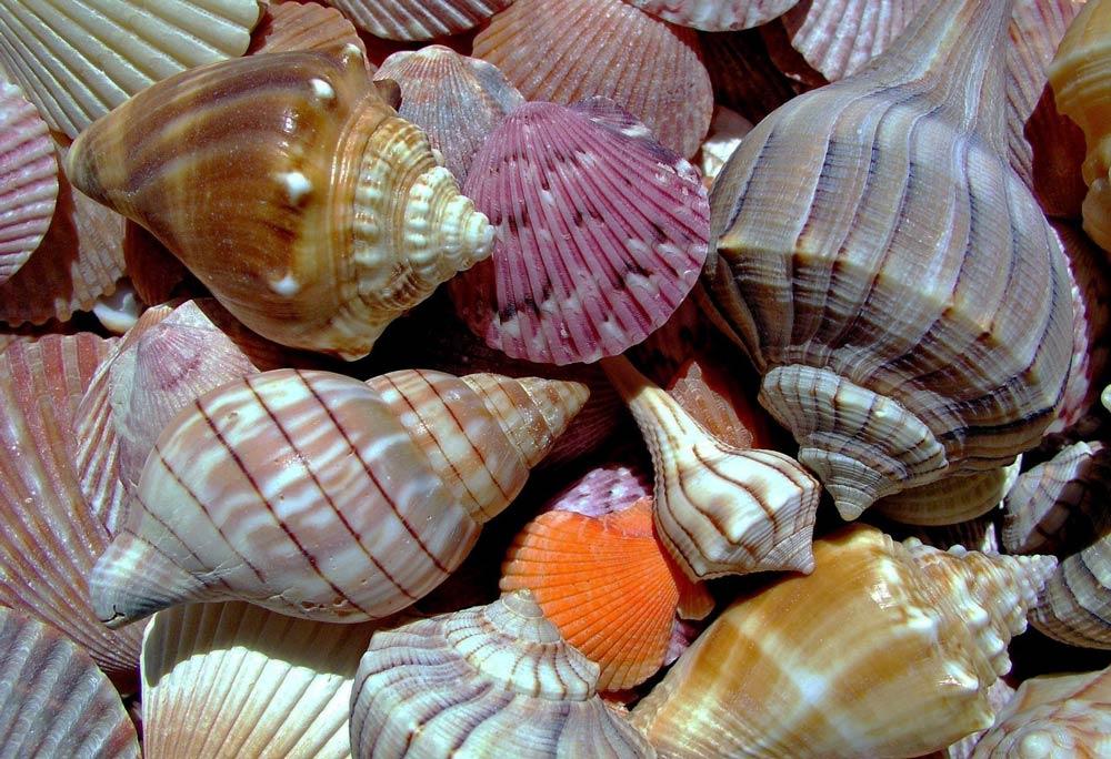 фото морских ракушек